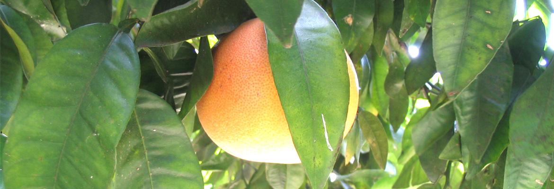 pomelos_agrucorse_fruit